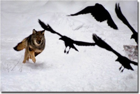 Wolf Chasing Ravens  by Jim Brandenburg